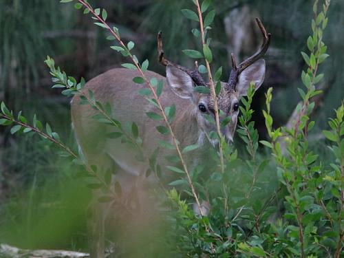 White-tailed Deer buck 02-20180904