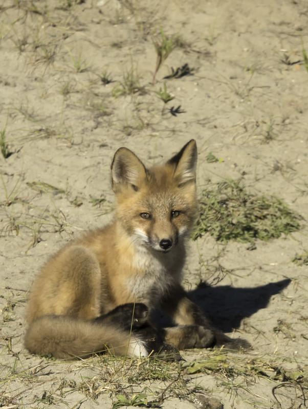 Baby Fox, Yukon, Canada