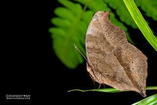 Leaf butterfly (Nymphalidae) - DSC_0648