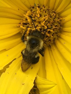 A bumblebee doing it's thing.