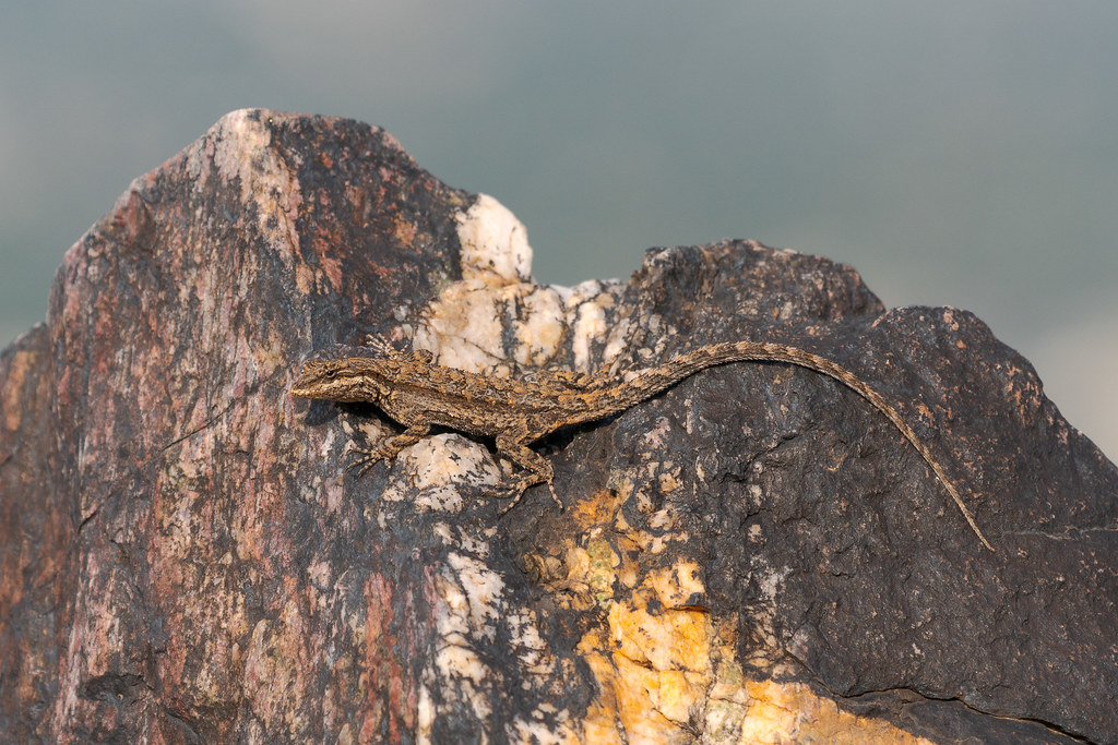 An ornate tree lizard (I think) clinks to the vertical surface of a granite slab on the Piestewa Peak Summit Trail in Phoenix Mountains Preserve in Phoenix, Arizona