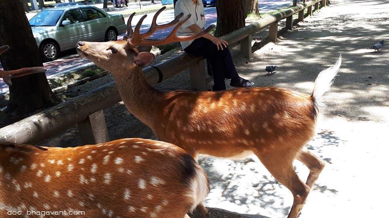 Rusa jenis sika di taman kompleks Vihara Kofuku, Nara, Jepang.