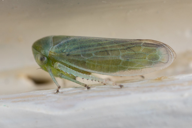 Adult of the green racing stripe cicadellid