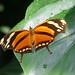 Monarchvlinder(Danaus Plexippus)