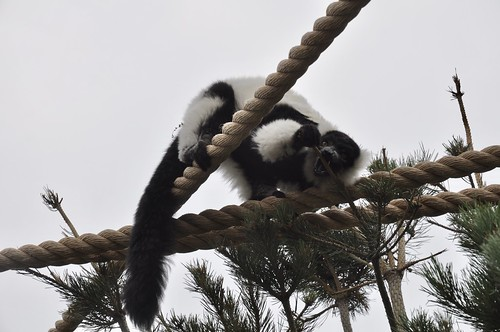 Lemur eating the tree at the Calgary Zoo