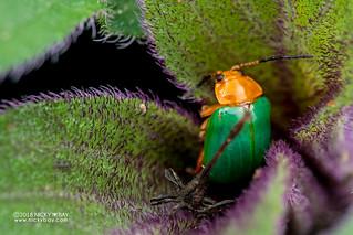Leaf beetle (Chrysomelidae) - DSC_1643
