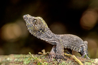 Mossy leaf-tailed gecko (Uroplatus sikorae) - DSC_1516