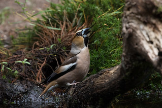 Hawfinch (Coccothraustes coccothraustes) Appelvink