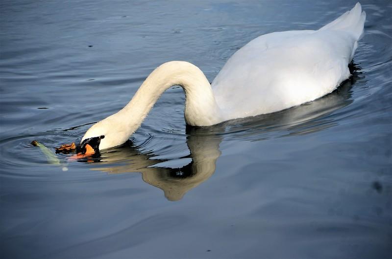 Swans 10.09 (17)