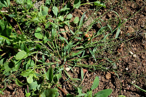 Eragrostis minor ou pas ? [identification à suivre] 44716997321_b52a288188
