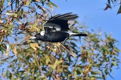 Australian Magpie ( Looking for its young to feed )