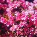 Azalea in full bloom. #gardendelights #spring