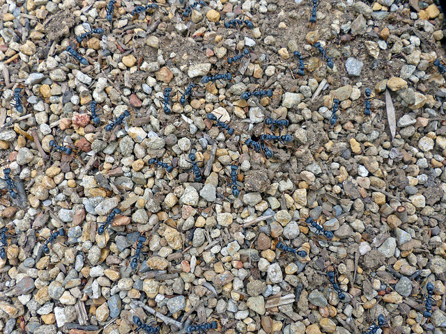 Jackjumper ants, perhaps mountain jackjumpers