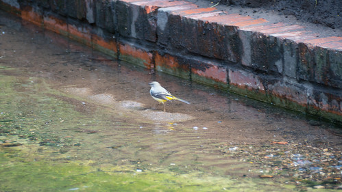 Grey wagtail, Smestow Brook, Water Bridge