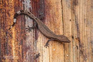 Madagascar clawless gecko (Ebenavia inunguis) - DSC_2474