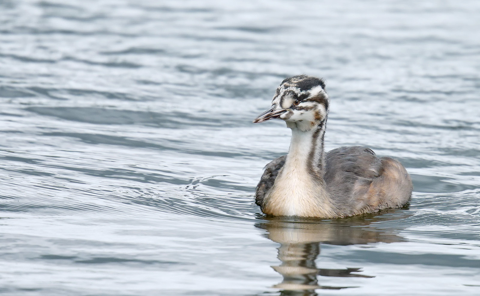 Great Crested Grebe - Juvenile