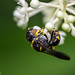 Busy Bee or Wasp??