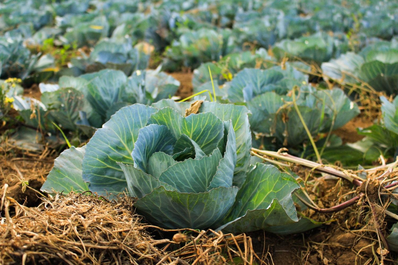 การคลุมดินปลูกผักด้วยฟางข้าว