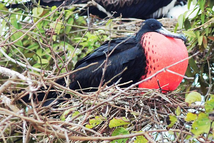 Magnificent Frigatebird  - male