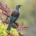 New Zealand  Native Tui_2629 by stan sutton