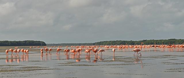 Mexico - Celestun - flamingos