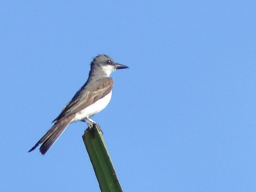 Gray Kingbird 04-20180823