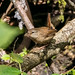 Eurasian Wren (Troglodytes troglodytes)