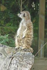 2018.06.19.053 CHAMPREPUS - Parc animalier - Suricate - Photo of Villedieu-les-Poêles