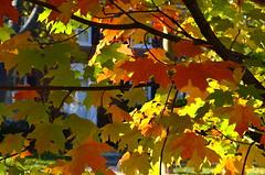Maple color