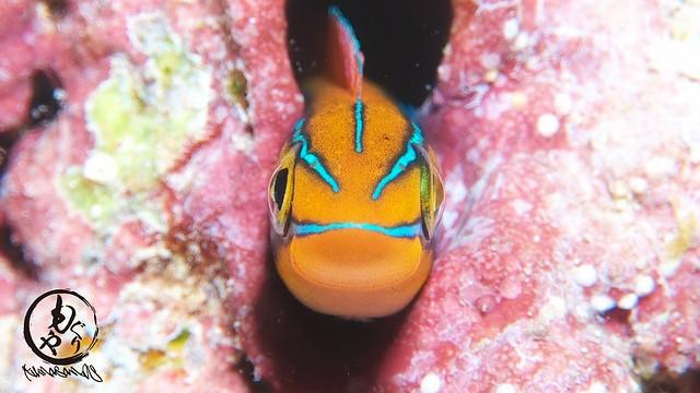 ミナミギンポ幼魚ちゃんも健在♪