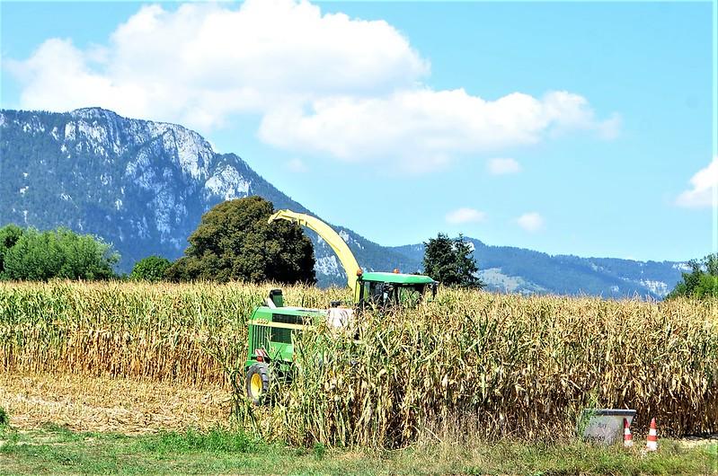 Maize harvesting 21.08 (1)