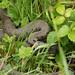 Grass Snake 1140002