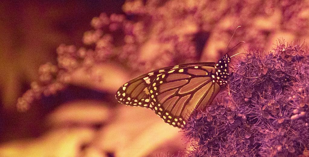 UV Monarch