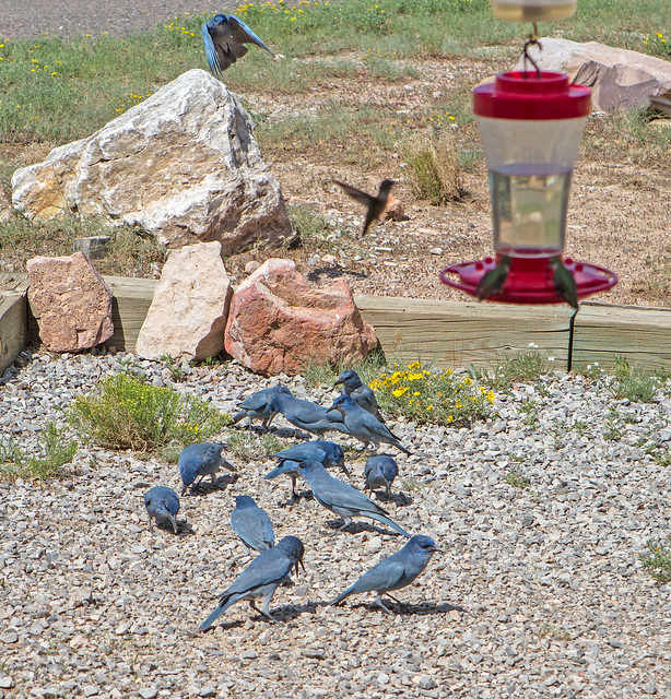 Flock-Pinyon-Jays-3-7D1-081218