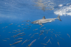 Image by George Probst (sharkpix) and image name Frame or foe photo  about Mackerel can often make photographing Guadalupe's white sharks a challenge, as they have the habit of darting into the frame between the camera and the shark at the most inopportune moments.  However, every once in a while they seem to line up just right with the sharks and help frame them up. This