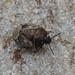 Crocistethus waltlianus (Cydnidae - Burrowing Bugs) by Simon in the Alpujarras