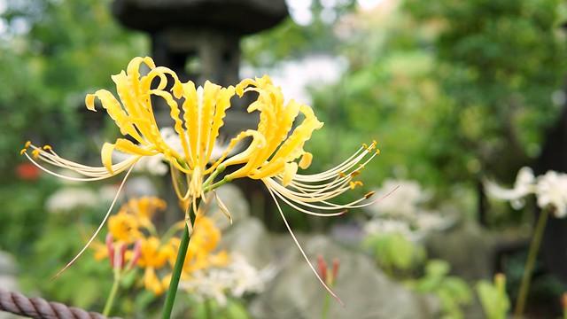 常泉寺(花寺)DSC00626-01