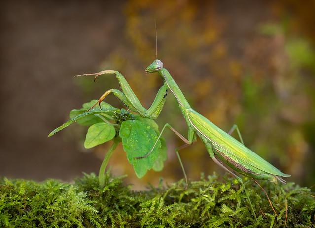 Praying Mantis - Stagmomantis limbata (f)