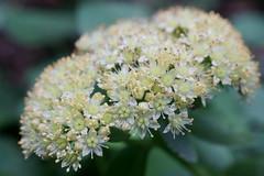 Hylotelephium (Sedum) telephium ssp. maximum