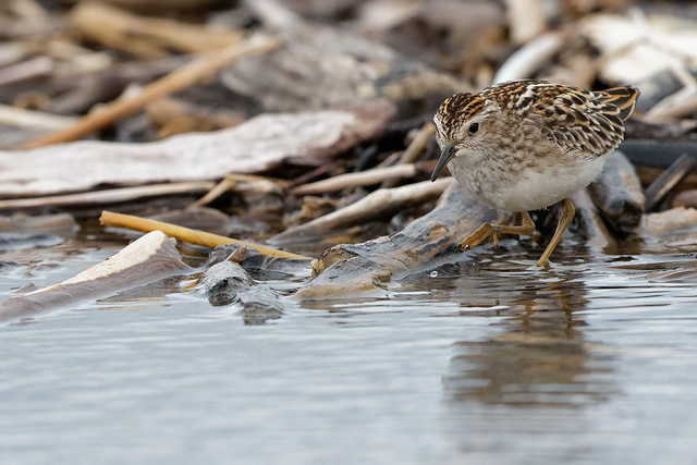 Long-toed Stint, Canon EOS 7D MARK II, Canon EF 500mm f/4L IS II USM