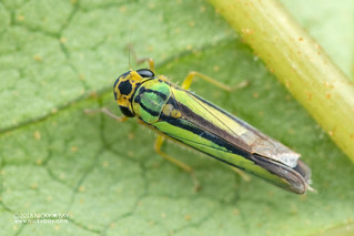 Leafhopper (Cicadellidae) - DSC_1339