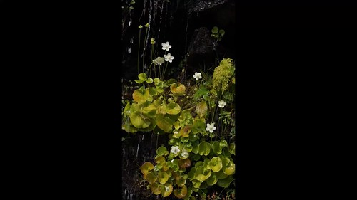 Parnassia asarifola on the wet cliff face [Explored 2018-09-08]