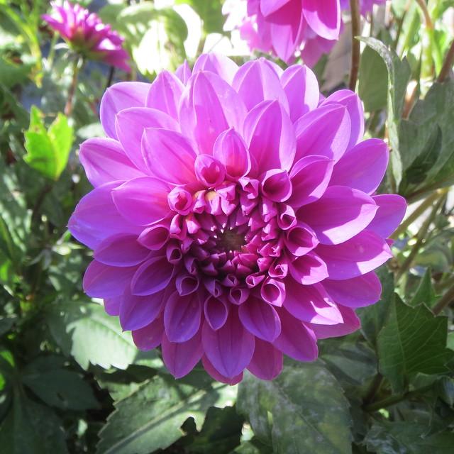 pink flower 9 8 18, Canon POWERSHOT ELPH 520 HS