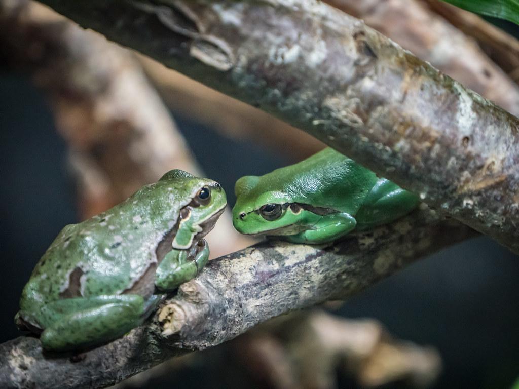 Quand une grenouille rencontre une autre grenouille... 44651793842_5964561e19_b
