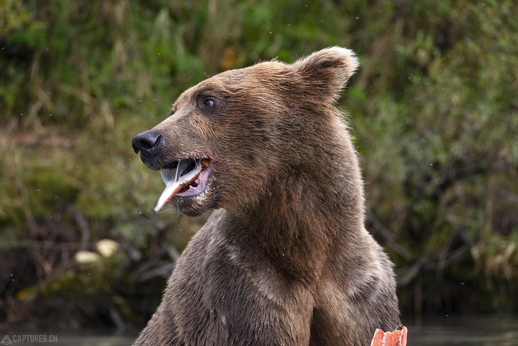 Salmon eating bear - Alaska
