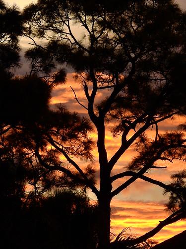 sunset sundown dusk sun evening endofday sky clouds color red gold orange pink yellow blue tree palm outdoor silhouette weather tropical exotic wallpaper landscape nikon coolpix p900 jimmullhaupt manateecounty bradenton florida cloudsstormssunsetssunrises photo flickr geographic picture pictures camera snapshot photography nikoncoolpixp900 nikonp900 coolpixp900