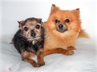 Beanz and Boo the miniature Yorkshire Terrier and Pomeranian