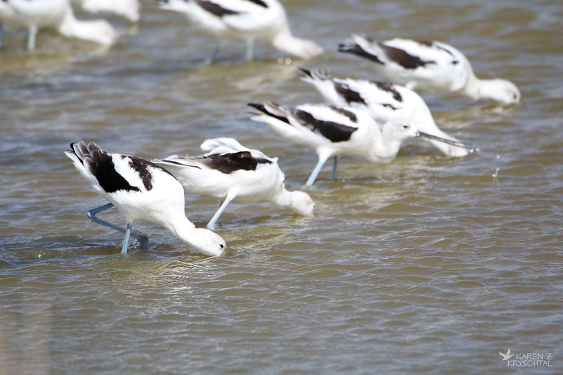 IMG_7040AmericanAvocets