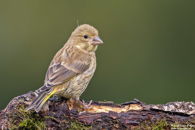 Greenfinch, Carduelis chloris, Canon EOS 7D MARK II, Canon EF 500mm f/4L IS