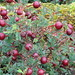 UK - Scotland - Ayrshire - Great Cumbrae Island - Near Fintry Bay - Red berries